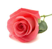 Gentle pink rose Stock Image