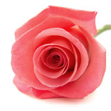 Gentle pink rose Royalty Free Stock Images