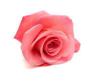 Gentle pink rose Stock Photos