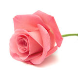 Gentle pink rose Stock Images