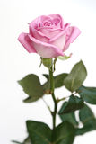 Gentle pink rose on a white ba. Ckground Royalty Free Stock Photo