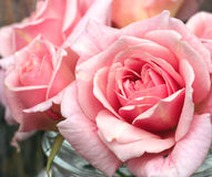 Gentle pink roses Stock Photos