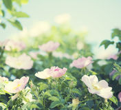 Gentle pink roses Stock Images