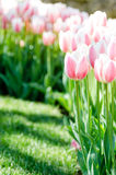 Gentle pink tulips on green background. Gorgeous tulip field Stock Images