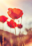Gentle poppies flowers field Stock Photography