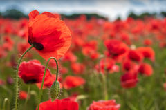 Gentle poppy flower with popply flower bud Royalty Free Stock Photography