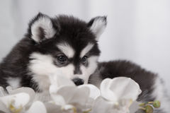 Gentle puppy husky and orchids Royalty Free Stock Photos