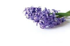 Gentle purple flowers Stock Photography