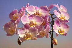 Gentle purple orchid Stock Photo
