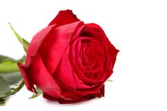 Gentle red rose flower. Royalty Free Stock Images