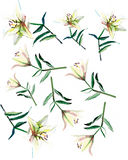 Gentle refined beautiful composition of white beige powdery lilies. Watercolor hand illustration Stock Images