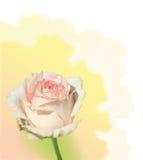 Gentle rose stock photo
