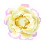 Gentle  rose Royalty Free Stock Image