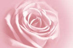 Gentle rose background Royalty Free Stock Photos