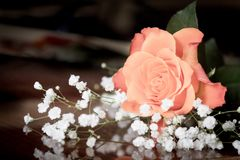 Gentle rose on a dark background. blur royalty free stock photography