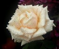 Gentle rose flower after rain Royalty Free Stock Photography