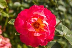 Gentle rose garden. Red gentle rose garden close up Royalty Free Stock Photos