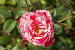 Gentle rose garden. Red gentle rose garden close up Royalty Free Stock Image