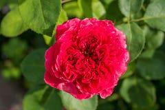 Gentle rose garden. Red gentle rose garden flower Stock Image