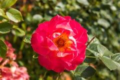 Gentle rose garden. Red gentle rose garden flower Royalty Free Stock Photos