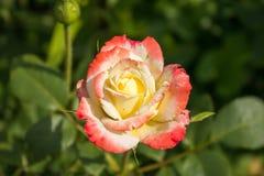 Gentle rose garden. Red and yellow gentle rose garden Stock Photo