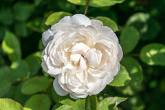 Gentle rose garden. White gentle rose garden flower Stock Photography