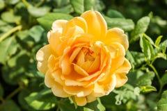 Gentle rose garden. Yellow gentle rose garden close up Stock Photo
