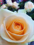 Gentle rose of love Royalty Free Stock Images
