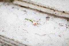 Gentle rose on marble sairs Royalty Free Stock Image