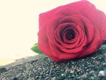 Gentle Rose. A red rose gently resting on stones Royalty Free Stock Images