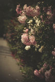 Gentle roses Royalty Free Stock Images