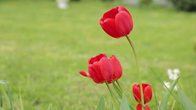 Gentle sliding motion of Red tulips stock footage