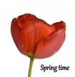 Gentle spring flower - red tulip. Nice red  tulip on a white background Royalty Free Stock Photo