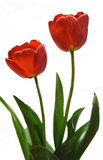 Gentle spring flower - red tulips. Nice red tulips on a white background Royalty Free Stock Photo