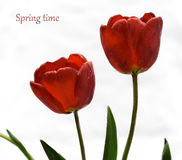 Gentle spring flower - red tulips. Nice red  tulips on a white background Royalty Free Stock Photos