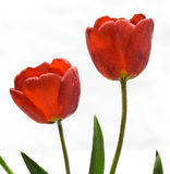 Gentle spring flower - red tulips. Nice red  tulips on a white background Stock Photo