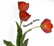 Gentle spring flowers - red tulips. Nice red  tulips on a white background Royalty Free Stock Images