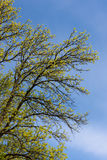 Gentle spring foliage Royalty Free Stock Images