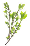 Gentle spring green branches Stock Images