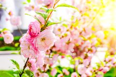 Gentle spring pink sakura flowers. Fresh greenery. Green leaves on a thin branch. Sun rays and glare. Nature. Blurred background Stock Images