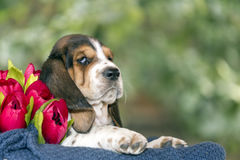 Gentle and sweet Basset hound puppy with sad eyes sitting in a b. Asket on the blanket stock photo