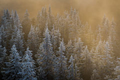 The gentle touch of winter sun. The sun rays covered the frozen forest Stock Image