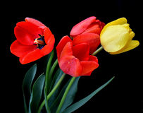 Gentle wet tulips. Gentle red and yellow tulips on dark background Stock Photography