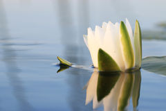Gentle water Lily flowers Royalty Free Stock Photo