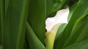 Gentle white calla lily flower looks out from green fresh leaves in background. 4k, slow motion. close-up stock footage