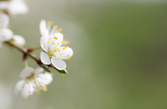Gentle white flowers of fruit tree. Royalty Free Stock Photos