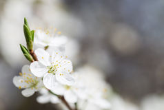 Gentle white flowers of fruit tree. Royalty Free Stock Photo