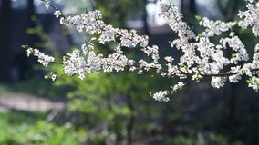 Gentle white flowers of fruit tree. Fruit garden in the morning. Sprig with flowers closeup stock video