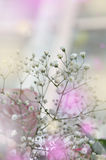 Gentle white gypsophils on a light pastel background Royalty Free Stock Images