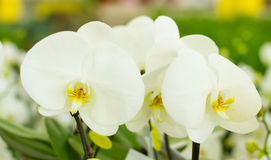 Gentle white orchid Stock Photography
